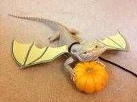 toothless dragon porn tgdkw pics comments halloween bearded dragon